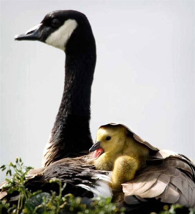 Мать и дитя - канадская гусыня (637x700, 40Kb)
