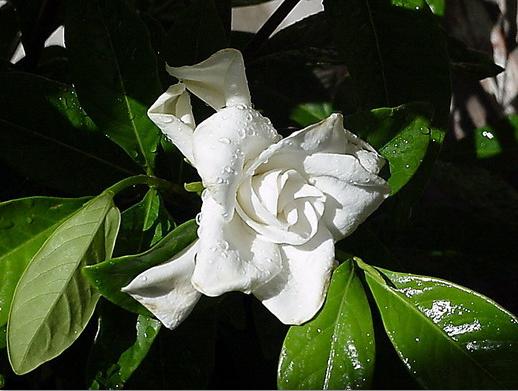 1821795_gardenia_ (518x391, 399Kb)