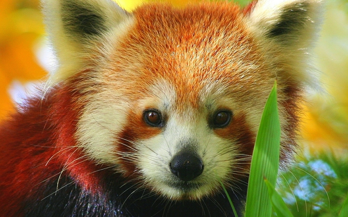 Cartoon baby red panda