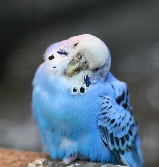 Parrot (640x672, 87Kb)