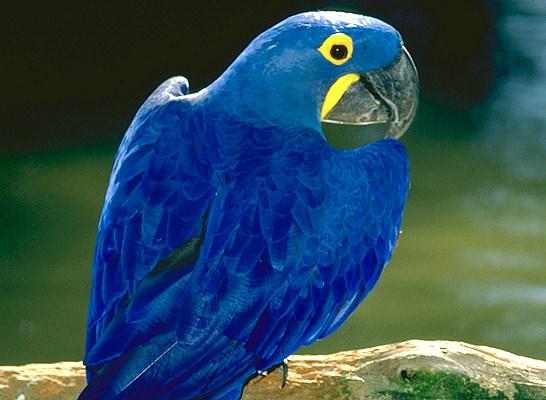 Parrot (546x400, 63Kb)