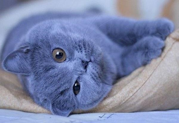 """Голубой кот - Аудиозапись с радиостанции SWH+.   """"Русский голубой """" - это..."""