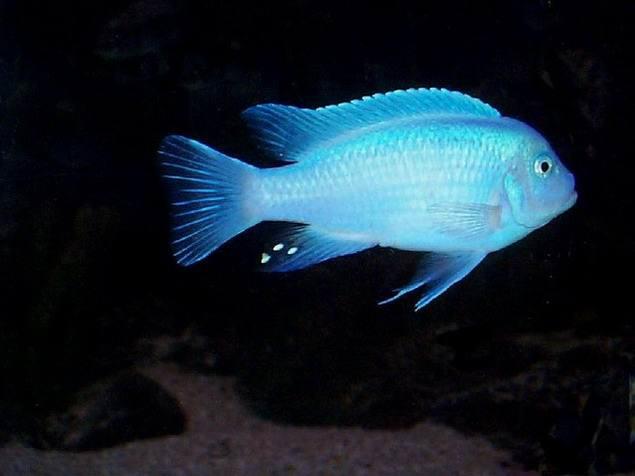 Аквариумные рыбки - Цихлиды.