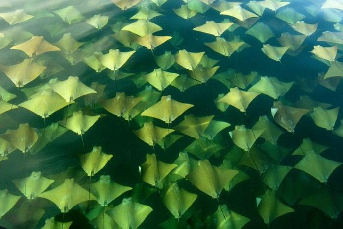 золотой скат фото 3 (700x468, 70Kb)