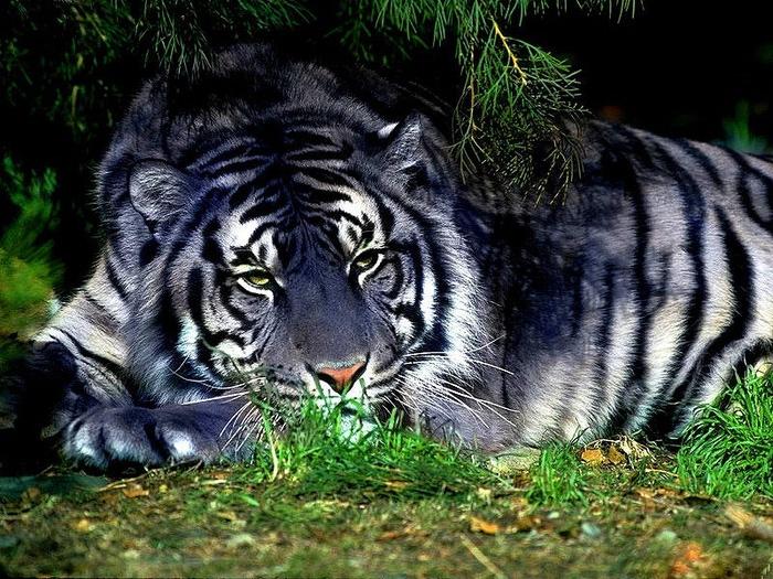 Tiger (700x525, 195Kb)