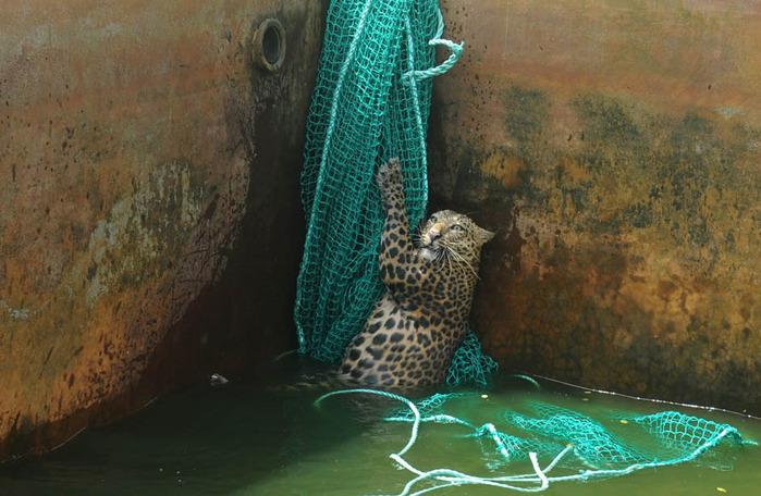 леопард фото 3 (700x456, 134Kb)