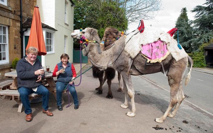 верблюды в городе фото 1 (700x437, 118Kb)
