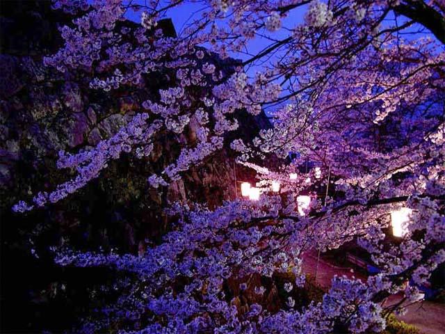фото сакуры (640x480, 121Kb)