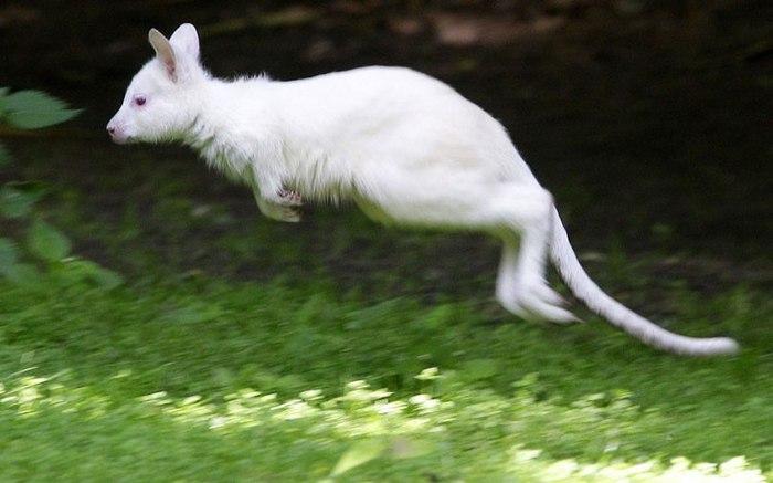 звери альбиносы (700x437, 54Kb)