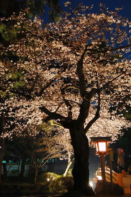 шедевры цветение сакуры41 (426x640, 127Kb)