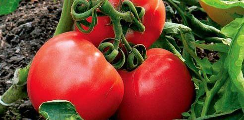 А вот ее повышение сокращает длительность хранения томатов.  Закладывать следует нормально сформированные...