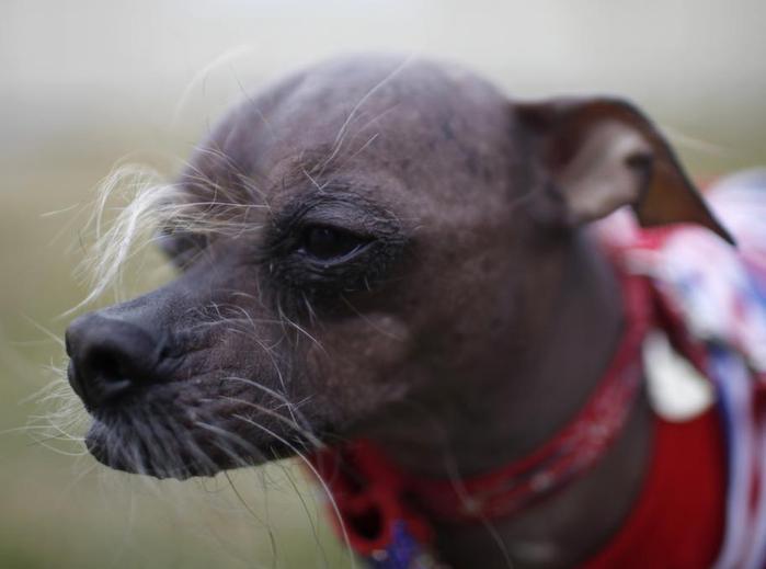самые уродливые собаки фото 8 (700x519, 27Kb)