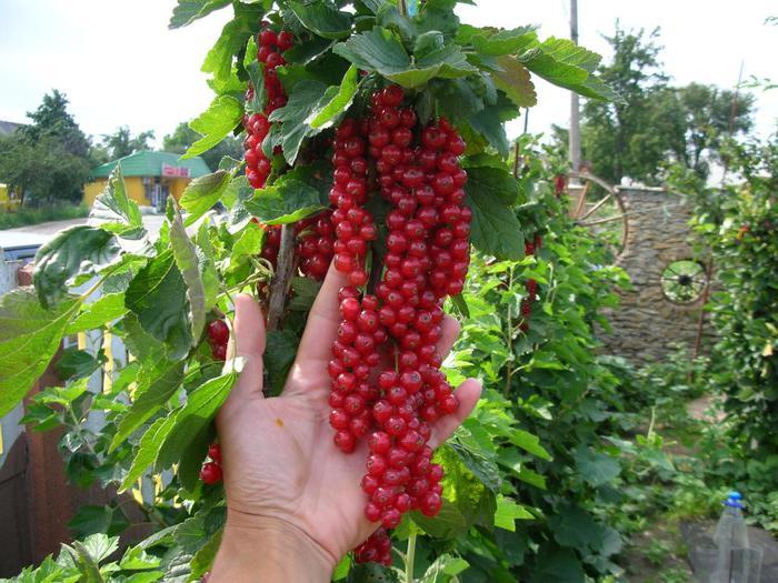 По сравнению с черной смородиной, кусты этого растения вытянуты...  Все о красной смородине.