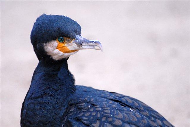 Баклан. птица такая (640x429, 36Kb)