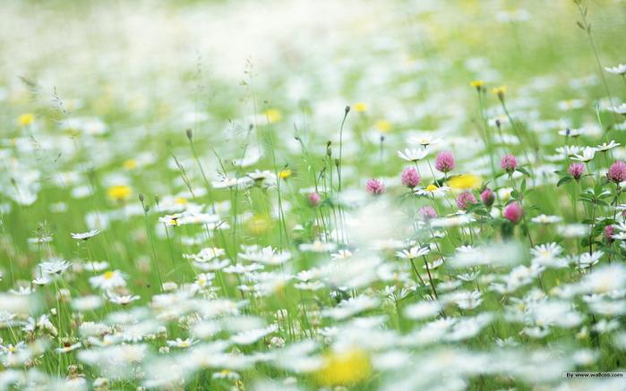 flower_sweet_wildflowers_01_46114_12 (700x437, 114Kb)