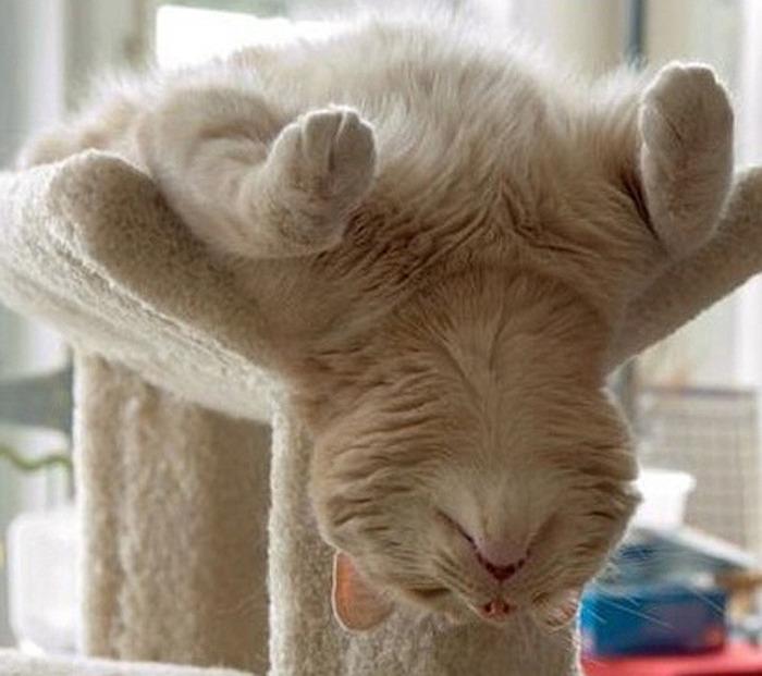 коты спят (10) (700x621, 100Kb)
