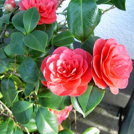 Фото комнатного цветка камелия