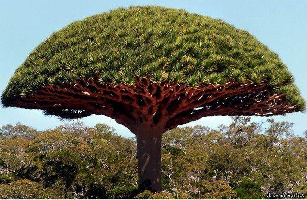 Дерево Dracaena cinnabari, произрастает на нескольких островах Индийского океана (604x395, 79Kb)