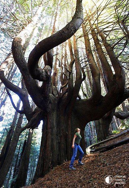 Магический лес в национальном парке Редвудс, США (414x604, 102Kb)