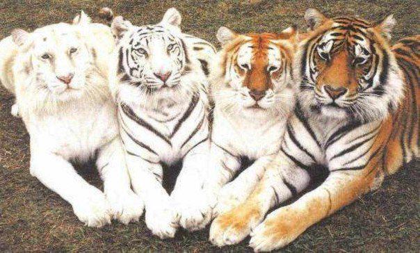 Четыре тигра. Позируют альбинос, белый, золотой и бенгальский (604x364, 58Kb)