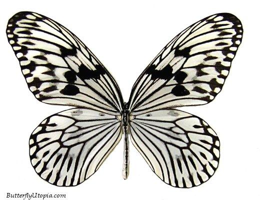35025811_068ideaidearicepaperbutterfly (522x400, 64Kb)