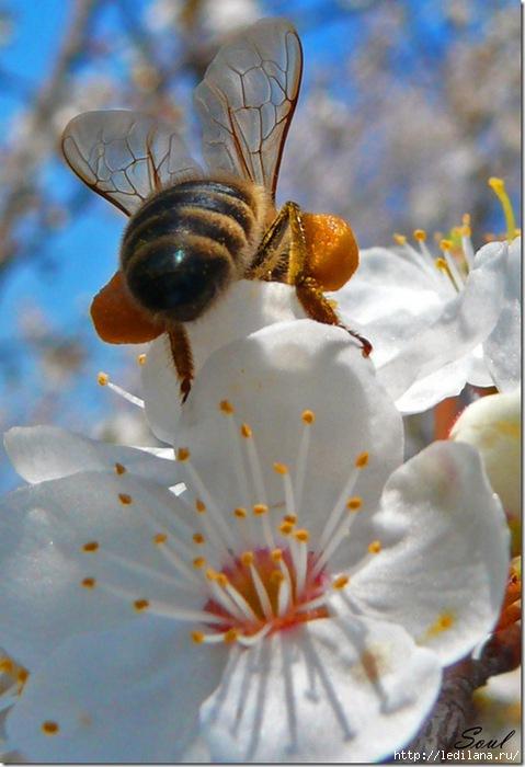 пчела на цветке (479x700, 161Kb)
