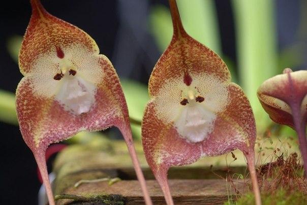 необычные орхидеи фото 4 (604x404, 53Kb)