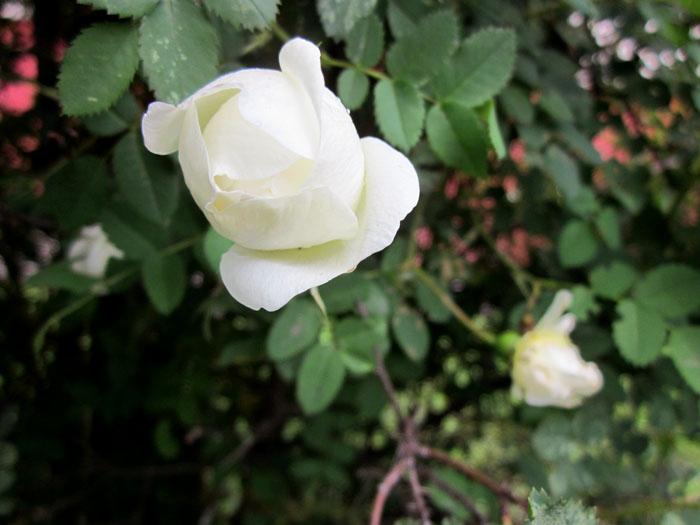 Белый шиповник 013 (700x525, 91Kb)