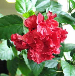 hibiscus4 (295x300, 24Kb)
