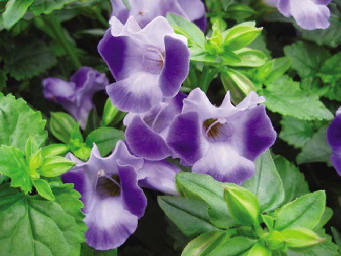 Декоративноцветущее горшечное растение - небольшой аккуратный... прищипывают и подставляют опоры для усиления...
