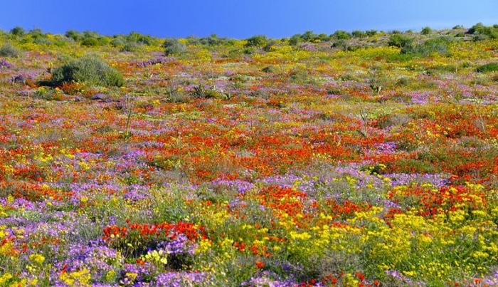 Namaqualand-flowers-6 (700x403, 151Kb)