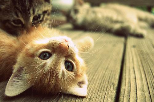 прикольные котята фото/4171694_smeshnie_kotyata_foto_6 (500x332, 301Kb)