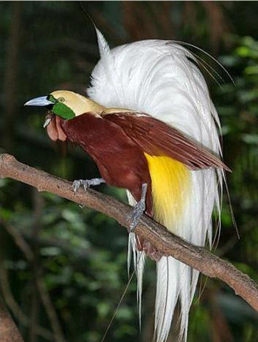 1. tropical_birdiesyo (528x700, 103Kb)