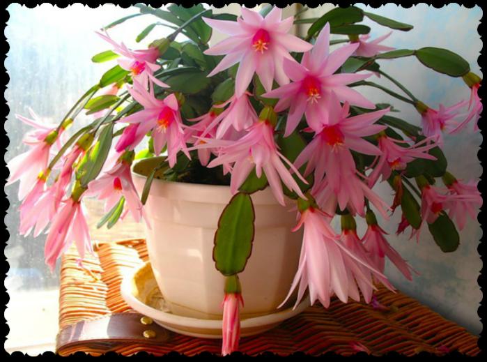Цветок декабрист с и уход