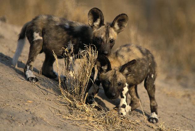 African_Wild_Dog (631x425, 80Kb)