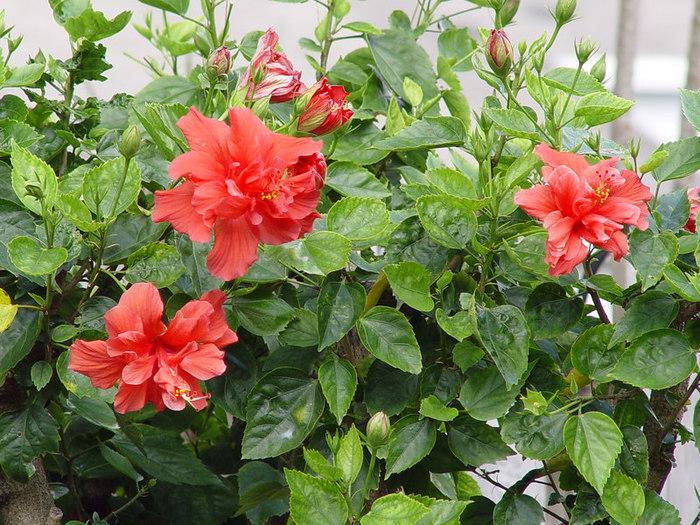 фото цветок каркаде