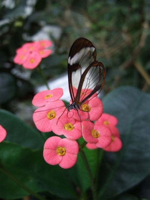 1279058556_glasswing_butterfly_06 (500x667, 35Kb)