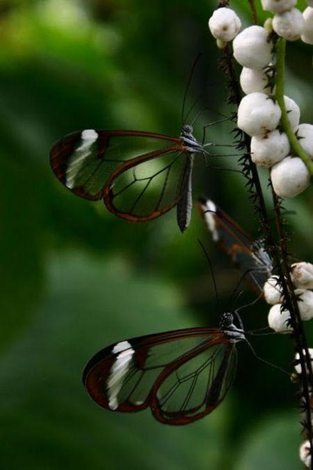 1279058486_glasswing_butterfly_03 (450x674, 32Kb)