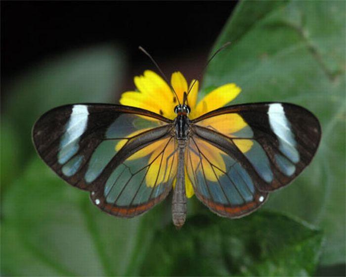 1279058500_glasswing_butterfly_01 (700x560, 39Kb)