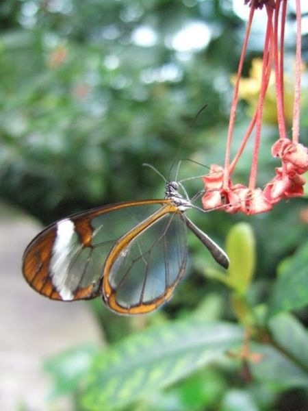 1279058514_glasswing_butterfly_09 (450x600, 36Kb)