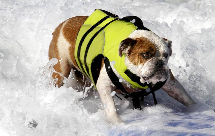 dogssurfing-1 (700x443, 102Kb)