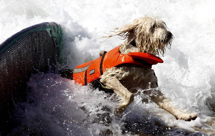 dogssurfing-2 (700x443, 119Kb)