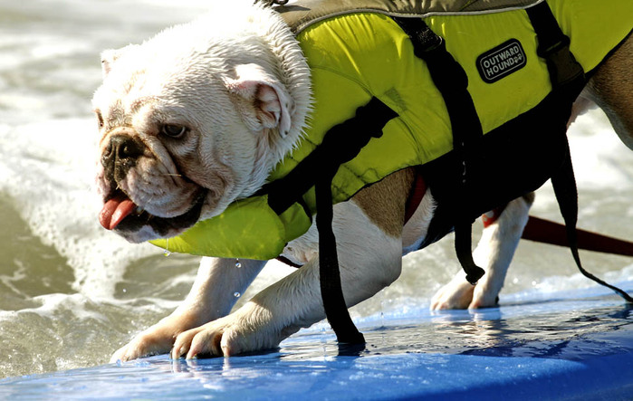 dogssurfing-4 (700x443, 112Kb)