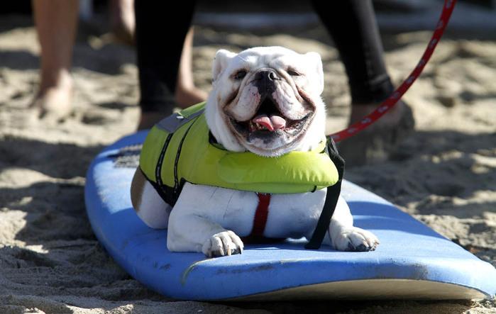 dogssurfing-7 (700x443, 90Kb)