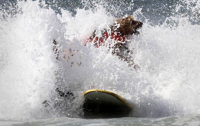dogssurfing-9 (700x443, 115Kb)