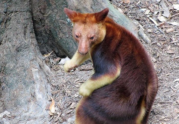 древесный кенгуру фото 2 (700x483, 193Kb)