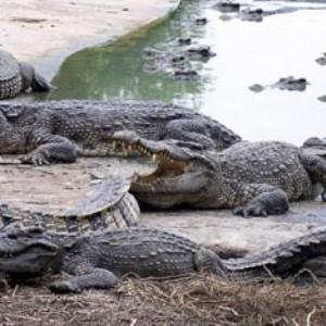 Нигерия - нашествие крокодилов (300x300, 33Kb)