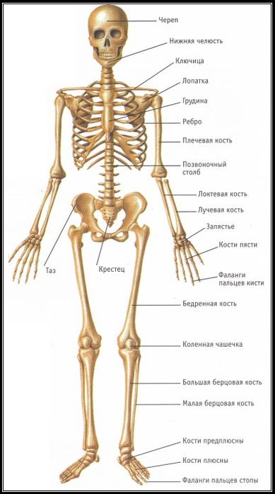 скелет (389x700, 229Kb)
