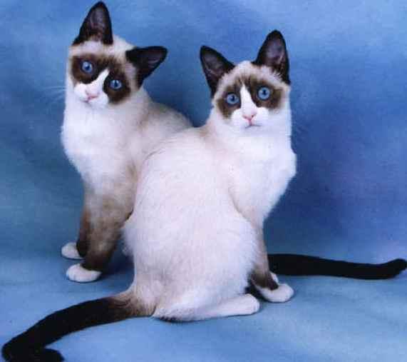 кошка сноу шу фото, порода кошек сноу шу фото