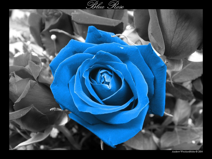 Blue_Rose (700x525, 264Kb)